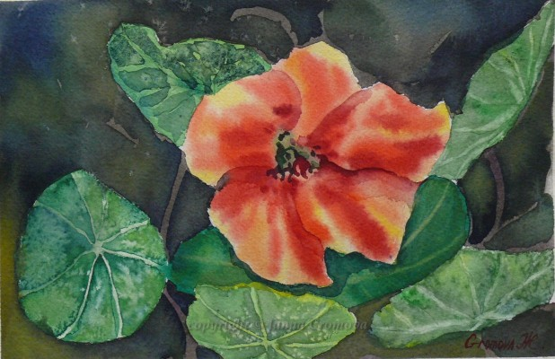 Nasturtium Flower - watercolour, 17.5x26cm